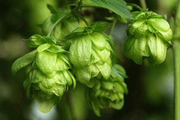 hops bitter ibu